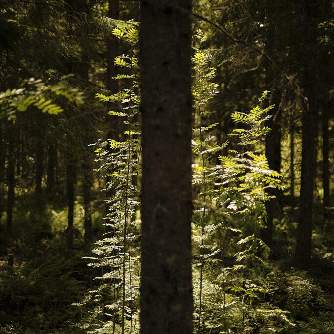 Aurinkoa puiden välissä