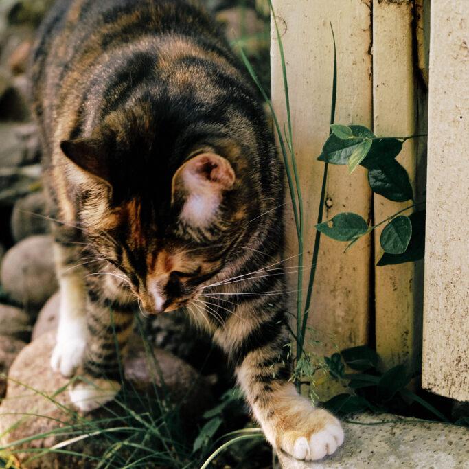 Kissa ja kesäheinä